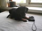 Собаки, щенки Пинчер, цена 500 Грн., Фото