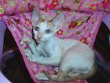 Кошки, котята Корниш-рекс, цена 3500 Грн., Фото