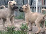 Собаки, щенята Турецька Кангал, ціна 4000 Грн., Фото