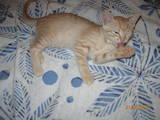 Кішки, кошенята Бомбейська, ціна 5 Грн., Фото