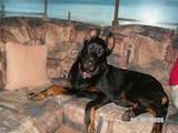 Собаки, щенята Босерон, ціна 8 Грн., Фото