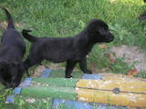 Собаки, щенята Німецька вівчарка, ціна 800 Грн., Фото