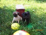 Собаки, щенки Мопс, цена 1750 Грн., Фото