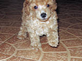 Собаки, щенята Той-пудель, ціна 5000 Грн., Фото