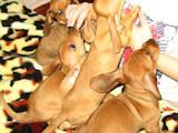 Собаки, щенята Гладкошерста такса, ціна 350 Грн., Фото