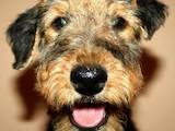 Собаки, щенки Эрдельтерьер, цена 4000 Грн., Фото