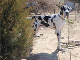 Собаки, щенята Німецький дог, ціна 2500 Грн., Фото