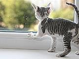 Кошки, котята Девон-рекс, цена 1500 Грн., Фото