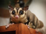 Тварини Екзотичні тварини, ціна 2500 Грн., Фото