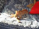 Собаки, щенки Русский длинношерстный тойтерьер, цена 800 Грн., Фото