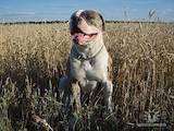 Собаки, щенки Американский бульдог, цена 800 Грн., Фото