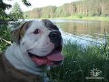 Собаки, щенята Американський бульдог, ціна 800 Грн., Фото