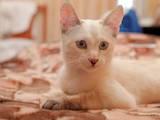 Кішки, кошенята Бурма, ціна 590 Грн., Фото
