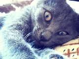 Кішки, кошенята Російська блакитна, ціна 0.50 Грн., Фото