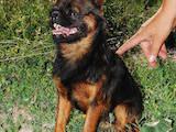 Собаки, щенята Брабантський гріффон, ціна 100 Грн., Фото