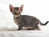 Кошки, котята Девон-рекс, цена 2700 Грн., Фото