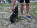 Собаки, щенки Пинчер, цена 1000 Грн., Фото