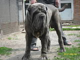 Собаки, щенки Мастино неаполетано, цена 25 Грн., Фото