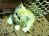 Кошки, котята Шиншилла, цена 200 Грн., Фото