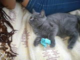 Кошки, котята Сейшельская короткошерстная, цена 700 Грн., Фото