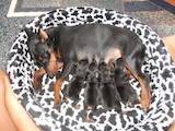 Собаки, щенки Пинчер, цена 2000 Грн., Фото
