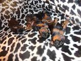 Собаки, щенята Пінчер, ціна 2000 Грн., Фото