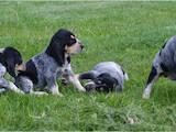 Собаки, щенки Баварская гончая, цена 6000 Грн., Фото