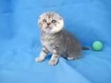 Кошки, котята Шотландская короткошерстная, цена 1000 Грн., Фото