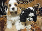 Собаки, щенята Американський коккер, ціна 2500 Грн., Фото