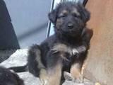 Собаки, щенята Східно-Європейська вівчарка, ціна 1000 Грн., Фото