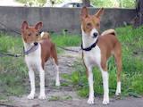 Собаки, щенята Басенджі, ціна 6000 Грн., Фото