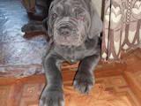 Собаки, щенята Мастіно неаполетано, ціна 3000 Грн., Фото