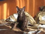 Кішки, кошенята Орієнтальна, ціна 1000 Грн., Фото