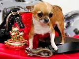 Собаки, щенята Чихуа-хуа, ціна 1200 Грн., Фото