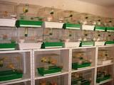 Папуги й птахи Канарки, ціна 100 Грн., Фото