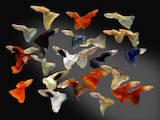 Рыбки, аквариумы Рыбки, цена 2 Грн., Фото