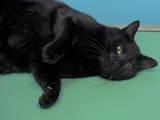 Кішки, кошенята Європейська короткошерста, ціна 5 Грн., Фото