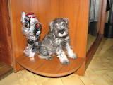 Собаки, щенки Цвергшнауцер, цена 1300 Грн., Фото