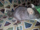 Грызуны Шиншиллы, цена 800 Грн., Фото