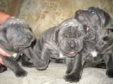 Собаки, щенята Мастіно неаполетано, ціна 2500 Грн., Фото