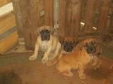 Собаки, щенята Південноафриканський Бурбуль, ціна 5000 Грн., Фото