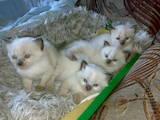 Кошки, котята Бирманская, цена 350 Грн., Фото