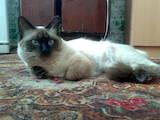 Кішки, кошенята Бірманська, ціна 350 Грн., Фото
