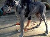 Собаки, щенята Німецький дог, ціна 100 Грн., Фото