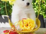 Собаки, щенки Самоед, цена 4000 Грн., Фото