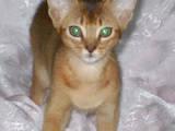 Кошки, котята Абиссинская, цена 5000 Грн., Фото