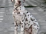 Собаки, щенята Далматин, ціна 4000 Грн., Фото