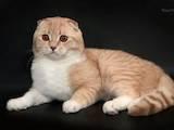 Кошки, котята Спаривание, цена 800 Грн., Фото