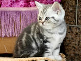Кошки, котята Шотландская короткошерстная, цена 2200 Грн., Фото