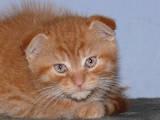 Кошки, котята Сибирская, цена 250 Грн., Фото